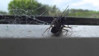 Spider eating fly alive. NATURE AT ITS BEST!! Epic. Amazing quality.