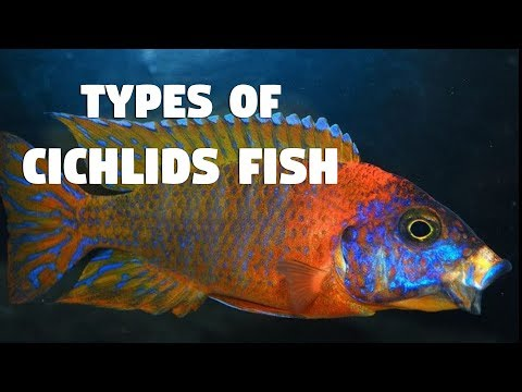 Types Of Cichlid Species In India 2018