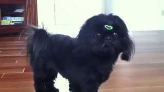 Sophie Black Shih Tzu Playing (1 1/2 Years Old)