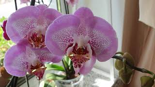 Расцвели Орхидеи * Взошла Ипомея * Новые Цветы На Балкон