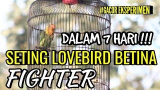 Download lagu GACOR EKSPERIMEN | SETING LOVEBIRD BETINA FIGHTER DALAM 7 HARI