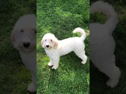 8 month old Australian Labradoodle Pearl