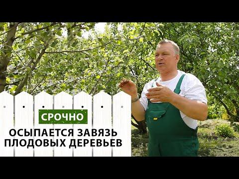 Почему осыпается завязь на плодовых деревьях   осыпаются   осыпается   средства   растений   плодовые   деревьев   монилия   молодые   деревья   яблоки