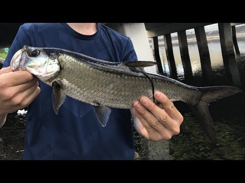Insane South Florida Canal Fishing Snook Tarpon Peacocks and MORE