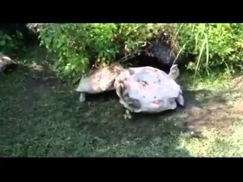 Amore tra tartarughe io ti salvero 39 youtube for Tartarughe in amore