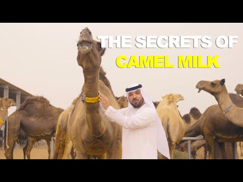 THE SECRETS OF CAMEL MILK