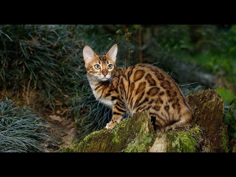 EXOTIC CAT BREEDS FROM AROUND THE WORLD