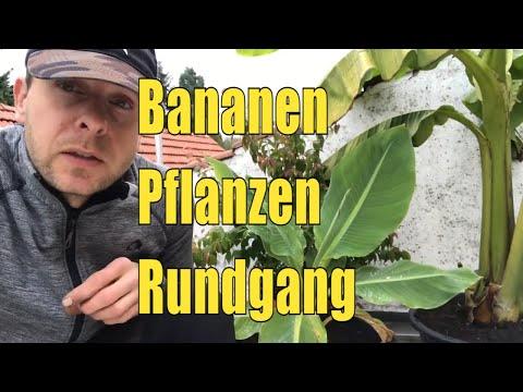 bananen-rundgang-oktober-2019,-gourmet-banane,-winterharte-banane-blu,-red-dracca,-dwaf-cavendish