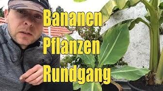 Bananen Rundgang Oktober 2019, Gourmet Banane, Winterharte Banane BLU, Red Dracca, Dwaf Cavendish