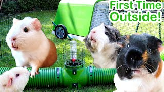 Guinea Pigs Go Outside For First Time in Life