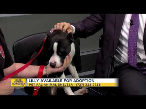 Pet of the week: Lilly is an 8-month old Pit Bull Terrier puppy with a bubbly personality