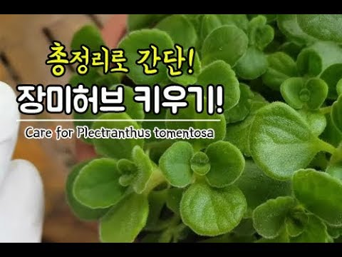 정말 키우기 쉬운 식물 장미허브 키우는법♥ 총정리로 쉽게 키우기!