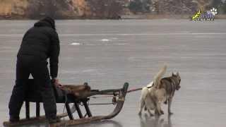 Овчарка, как ездовая собака