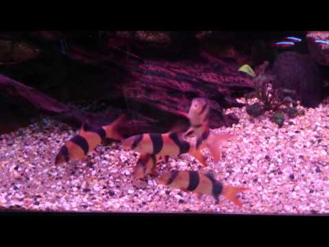 Clown Loaches Playing In Discus Tank