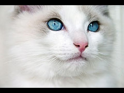 all about ragdoll cat -  cat information see more if you true ragdoll lovers