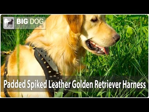 Golden Retriever Presents Stylish Leather Dog Harness with Shiny Brass Spikes