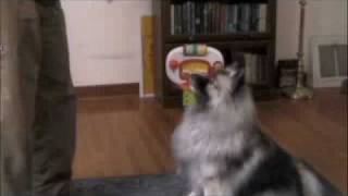 Reba the Keeshond unwinds from a hard day's work by shooting a few ...
