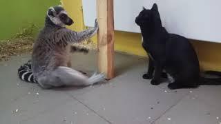 Лемур и кошка