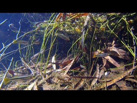 Native Fish: Black-banded Rainbowfish (Melanotaenia Nigrans), Kakadu National Park