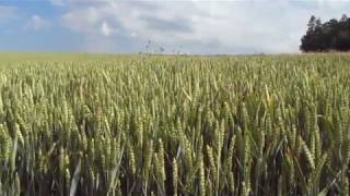 Пшеничное поле. Вячеслав Ушаков. стихи, (текст для чтения под видео)