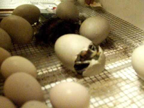 duck hatching 2009 - YouTube