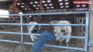 Vaches laitières : Une méthode pour détecter rapidement les cétoses