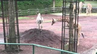 多摩動物公園 シマウマ 対 キリン.