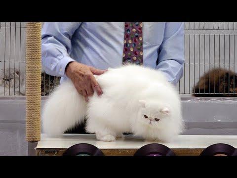 CFA International Show 2019 - Longhair Kitten Class Judging - Persians : Set 1