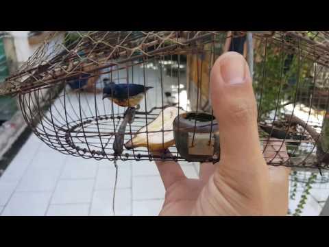 Clip : ốc mít xanh - Nuôi Chim Sâu & Hút Mật