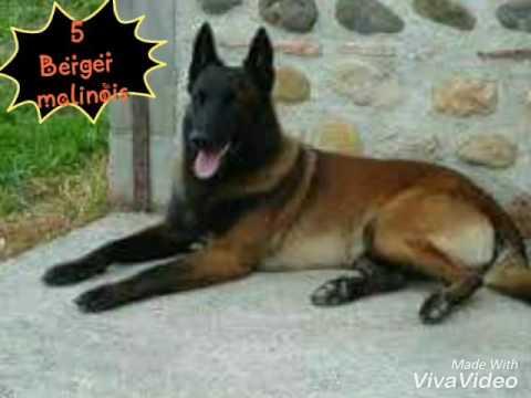 top 5 chiens le plus dangereux du monde - YouTube
