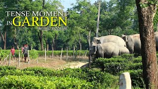 ELEPHANT ATTACK || TENSE SITUATION IN TEA GARDEN || MAN ELEPHANT CONFLICT