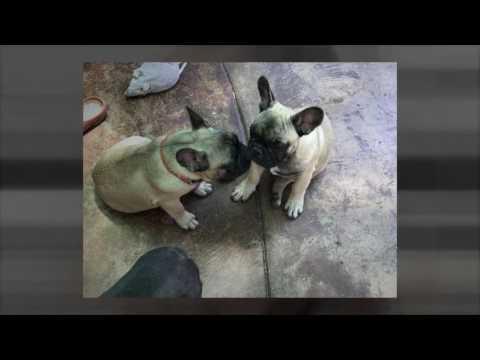 Chunky French Bulldog Puppies in California