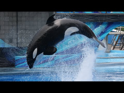 One Ocean (Full Shamu Show) at SeaWorld Orlando on 5/14/17