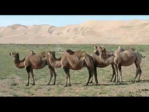 тэмээн сүргийн говь ( Temeen surgiin govi)