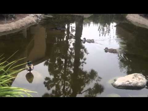Ducks in a Pond. My Nature Series pt 23.  Boring, not much going on.  Short video