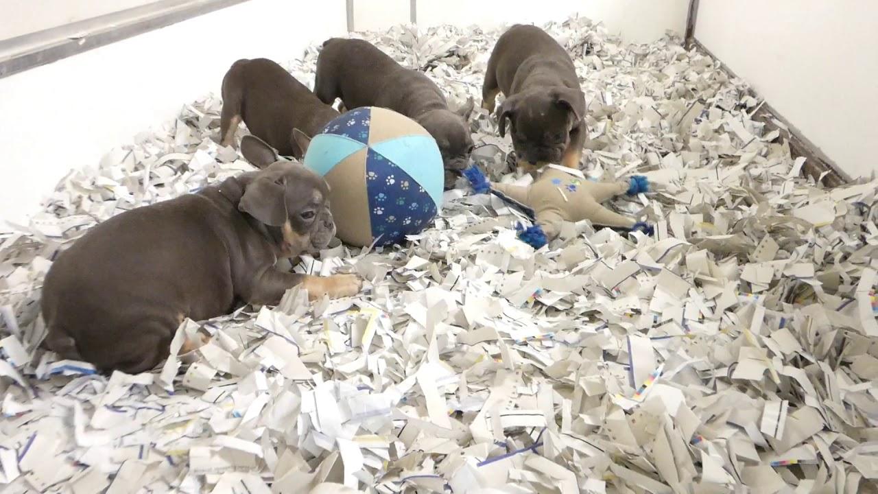 Spiksplinternieuw Franse Bulldog Blauw pups te koop - Elevage Bouledogue Français OU-26