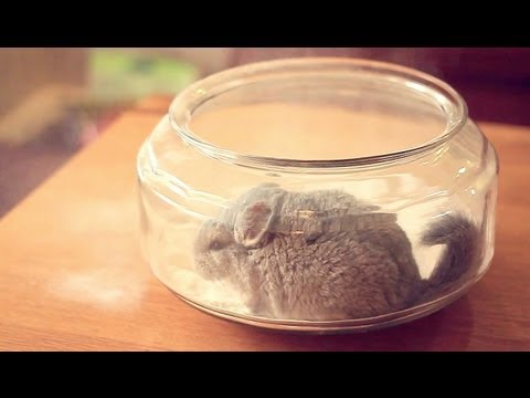 A chinchilla taking a dust bath!