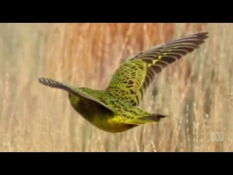 Photo of the elusive night parrot captured in Western Australia