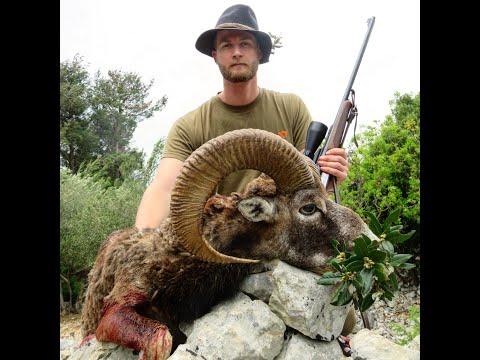 mouflon-ram-hunt-in-croatia