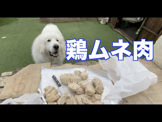 愛犬たちのごはんを作りおき グレートピレニーズ MIX犬