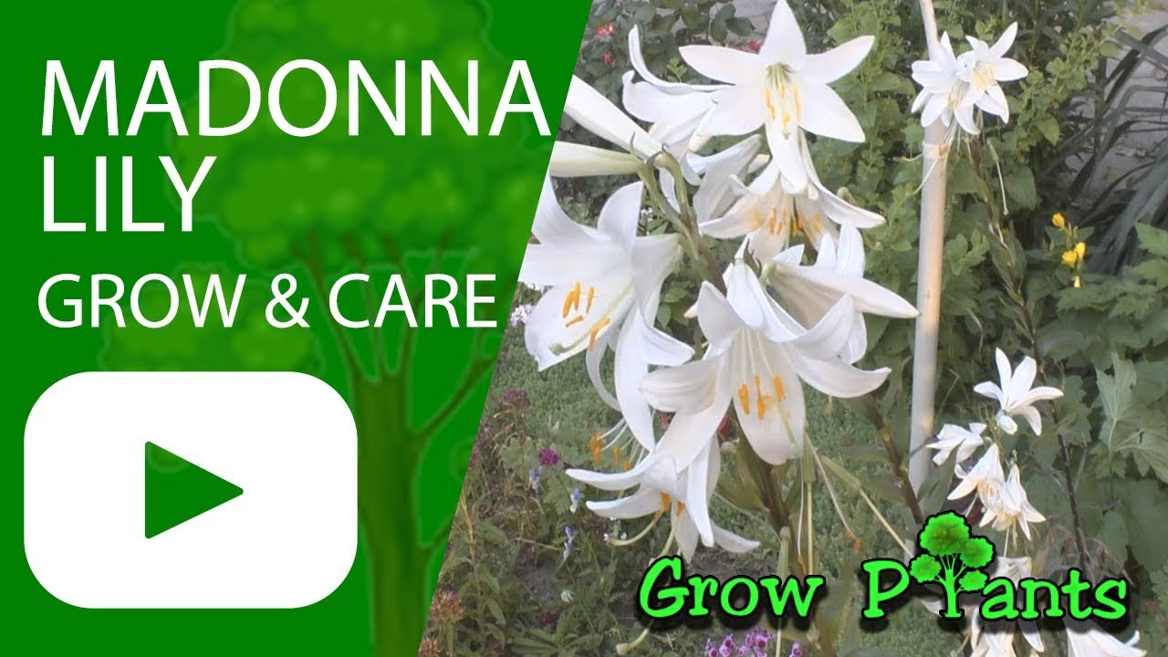 Madonna lily grow care as cut flower youtube madonna lily grow care as cut flower izmirmasajfo