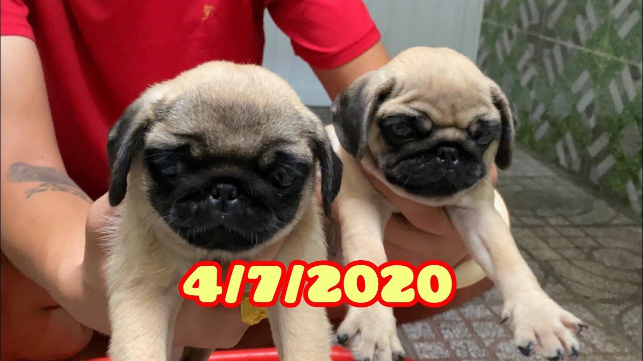 Chó pug con của Mercedes | Trại Chó Bình Cao | 0939222211
