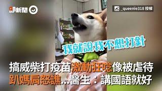 台南搞威柴犬打疫苗激動狂唸像被虐待 趴狗媽肩上怒譙...醫生:講國語就好 | 寵物 | 柴柴