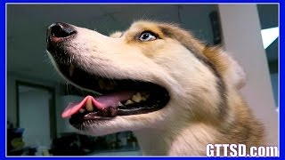 HUSKY SHELBY GETS HER TEETH CLEANED | Dog goes to the Dentist