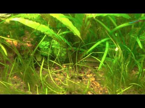 Aquarium fish tank algae removal in a planted aquarium for Fish tank algae remover