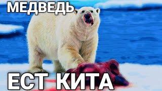 Медведь ест кита