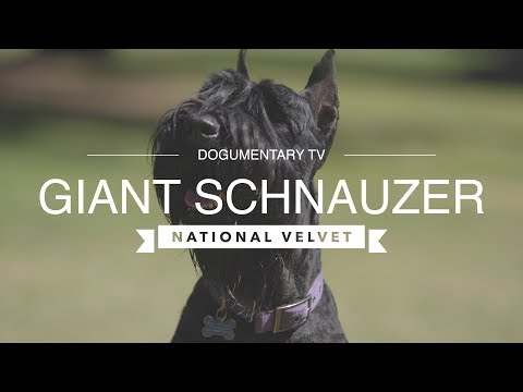 NATIONAL VELVET A GIANT SCHNAUZER STORY