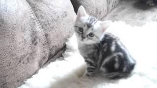 Шикарный котёнок Курильский бобтейл.Продаю.