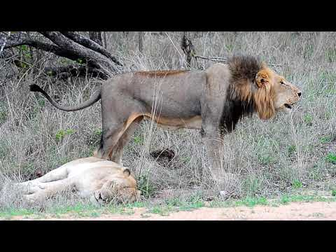 Lion Roar After Mating Proclaiming His Peace Of Kruger National Park