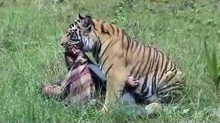 Man-Eater Tiger arrives in Pilibhit killed Farmer